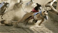 Greyhound Handicapping Stakes High Grade Races
