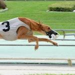 Speedy Pebbles Greyhound Racing Dog