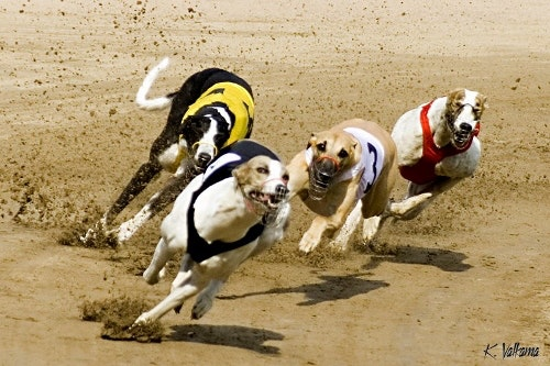 greyhound racing handicapping wagering