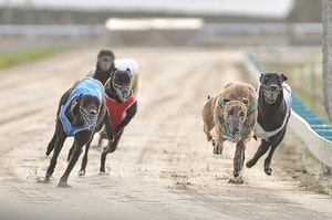 Southland Greyhound Dogs