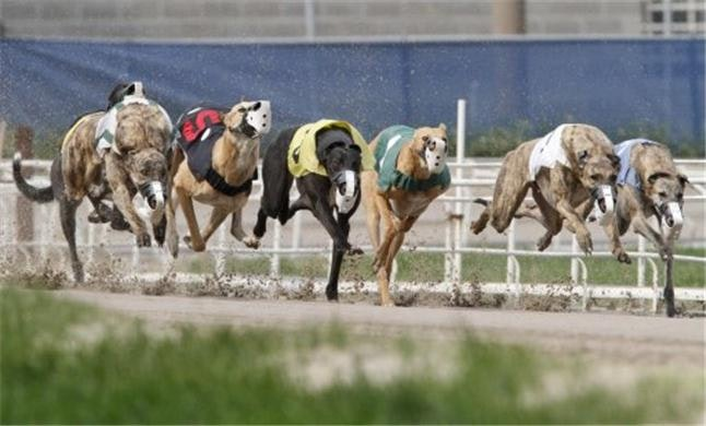 greyhound racing handicapping